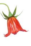 blåklocka canarian royaltyfri foto