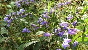 Blåklocka i skogKlocka-blomman i solig dag Sommarmiljömångfald Hyacinthoides som är icke--scripta i skogsmark under höst lager videofilmer