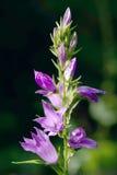 blåklockacampanulacanterbury latifolia Arkivfoto