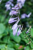 Blåklockaklockblommacarpatica i trädgården Arkivfoton