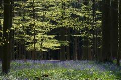 Blåklockaskog Arkivfoto