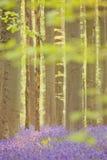 Blåklockaskog av Hallerbos i Belgien i morgonsolljus Royaltyfria Bilder