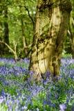 Blåklockaskogsmarker i en forntida engelsk skogsmark Arkivbilder