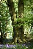 Blåklockaskogsmarker i en forntida engelsk skogsmark Royaltyfri Bild