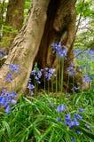 blåklockor Royaltyfria Foton