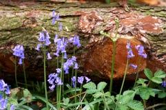 blåklockor fallen tree Arkivfoto