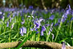 Blåklockor i den Sussex skogsmarken Royaltyfri Foto