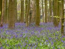 Blåklockor i Philipshill trä, Chorleywood royaltyfri foto