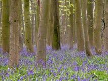 Blåklockor i Philipshill trä, Chorleywood arkivfoto