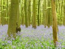 Blåklockor i Philipshill trä, Chorleywood, Hertfordshire, England, UK arkivbild