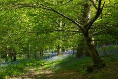 Blåklockor i skogsmark Royaltyfria Foton