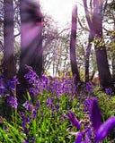 Blåklockor i solljuset Arkivbilder