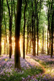 Blåklockor i soluppgångljus Royaltyfria Foton