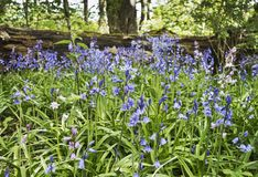 Blåklockor icke-som Hyacinthoides växer lösa i Northumberland, UK arkivfoto