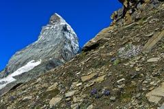 Blåklockor och saxifragaen blommar på det Matterhorn maximumet arkivfoto