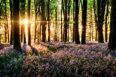 Blåklockor som blommar i skogen Arkivbild