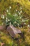 Blåklockor som växer bak en vagga med en mossa, täckte bakgrund i Gower, Wales, UK Royaltyfria Foton
