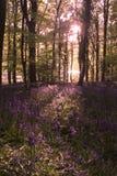 Blåklockor som växer i skogsmarker Arkivbilder