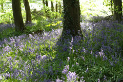 Blåklockor som växer i skogsmarker Royaltyfri Bild