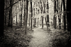 Blåklockor som växer på ett engelskt skogsmarkgolv Royaltyfri Foto