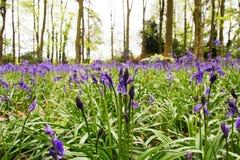 Blåklockor som växer på ett engelskt skogsmarkgolv Royaltyfri Fotografi