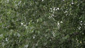 Blåsiga trädsidor, 50fps, 4K, HQ lager videofilmer