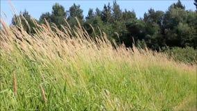 Blåsigt gräs i nära