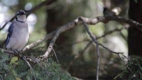 Blåskrika som sätta sig på en trädfilial lager videofilmer