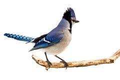 blåskrikan visar dess plumage fotografering för bildbyråer