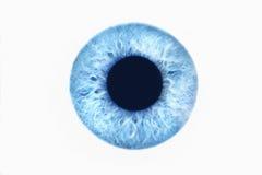 Blått öga på vit bakgrund royaltyfria foton