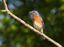 blått östligt för fågel Royaltyfria Bilder