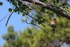 blått östligt för fågel Royaltyfri Fotografi