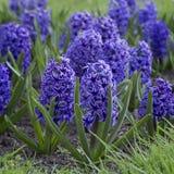 Blått blomma för hyacinter Fotografering för Bildbyråer