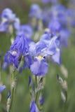Blått blomma för iris Royaltyfri Foto