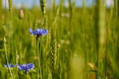 Blått blommar blåklinter som växer bland vete Arkivfoton