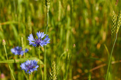 Blått blommar blåklinter som växer bland vete Fotografering för Bildbyråer