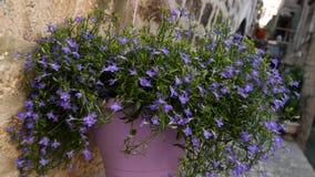 Blått blommar i en lerakruka på väggen Blommor och träd i måndag stock video