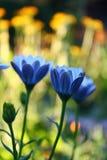 Blått blommar i en trädgård Royaltyfri Fotografi