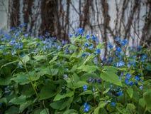 Blått blommar med murgrönan i bakgrund Royaltyfria Foton