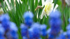 Blått blommar muscarien och pingstliljan med regndroppar arkivfilmer