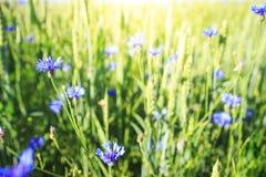 Blått blommar på grön sommaräng Växt- och blomma på vårfält mot bakgrund field blåa oklarheter för grön vitt wispy natursky för g royaltyfria bilder