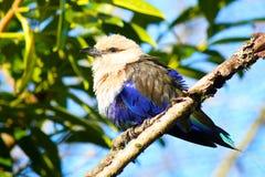 Blått-buktad cyanogaster för rullfågelCoracias Royaltyfria Bilder