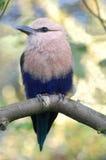 Blått-buktad rullfågel Arkivbilder