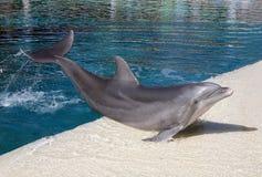 blått delfinvatten Fotografering för Bildbyråer