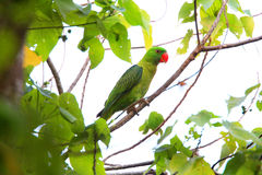 Blått-dragen tillbaka papegoja Royaltyfria Foton