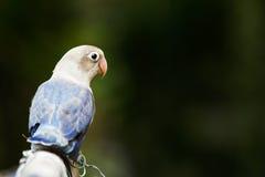 Blått dvärgpapegojaanseende på sittpinnen i trädgården Royaltyfria Bilder
