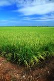 blått fält över paddyskies Fotografering för Bildbyråer