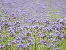 blått fält Royaltyfri Bild