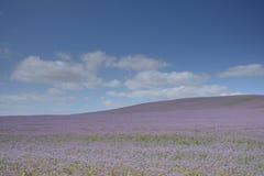 blått fält Royaltyfri Fotografi