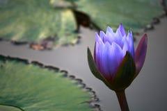 blått för blomma vatten lilly Arkivfoton